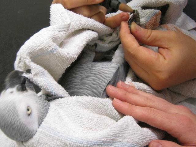 African grey nail trim