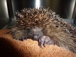 Hedgehog being treated by vet