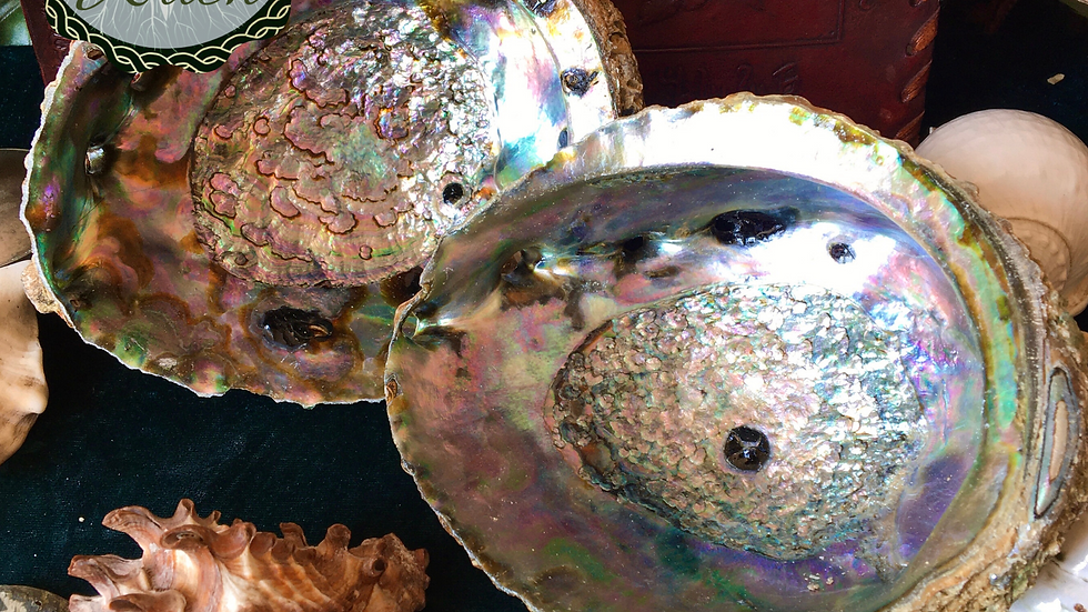 Abalone Shell 6 Inch
