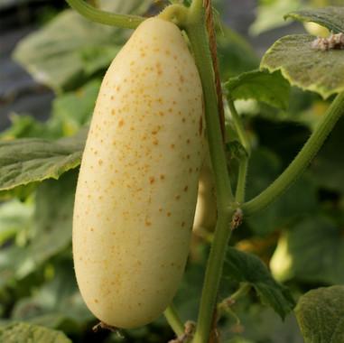 Concombre blanc hatif parisien