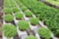 growing-herbs-with-hydroponic-system.jpg