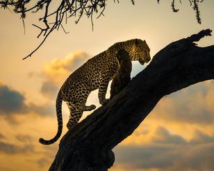 Masai Mara_Leopard_Climbing-2.jpg