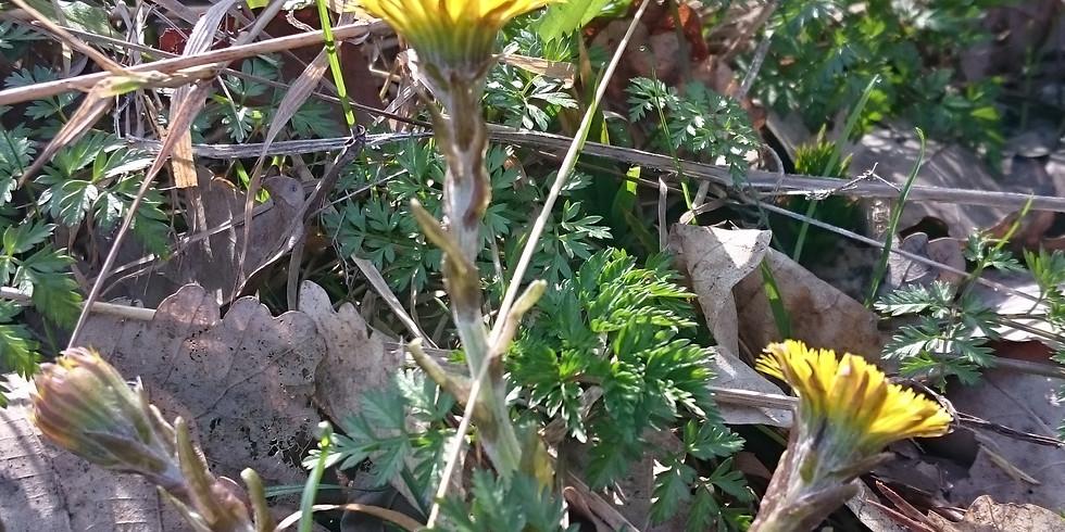 Frühjahrspflanzen entdecken, sammeln und verarbeiten