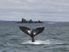 Humpback whale and Stags, West Cork