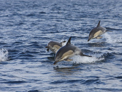 Common dolphins, West Cork