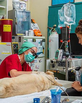 כירורגיה במרפאה וטרינרית שבי ציון.jpg