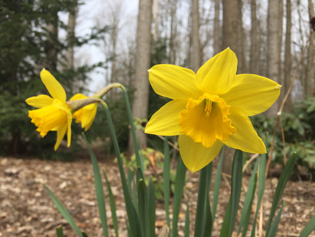 Narcissus Reminds