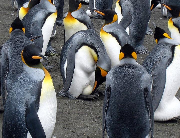 King Penguins South Georgia (2), 2009, Photography