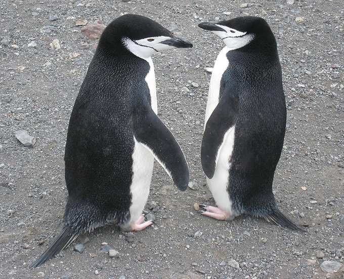 Chinstrap Penguins, 2009, Photography