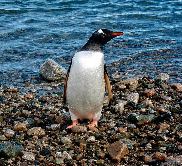 Gentoo Penguin, 2009, Photography