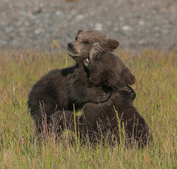 5 Month Old Grizzly Cub Alaska, 2015, Photography