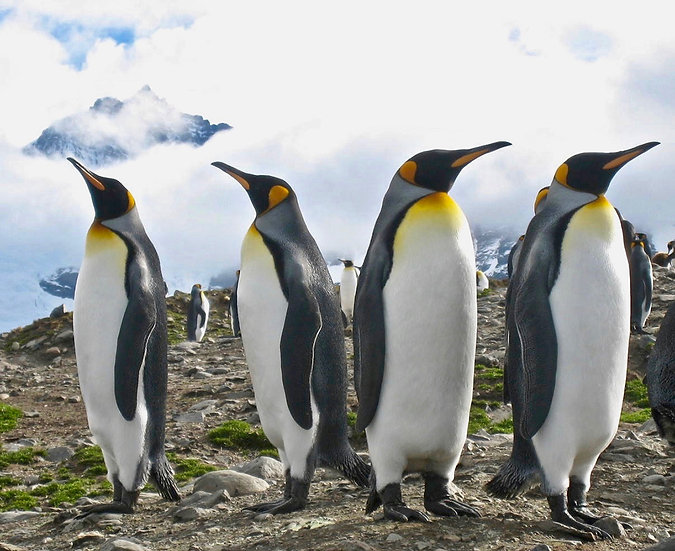King Penguins South Georgia (1)