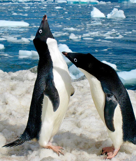 Courting Pair of Adelie Penguins, 2009, Photography