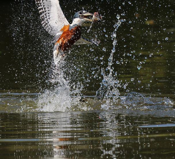 Amazon Kingfisher Pantanal, 2018, Photography on Metal