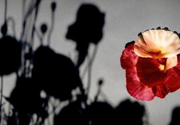 Banff Poppy Shadows_ Photograph.jpg