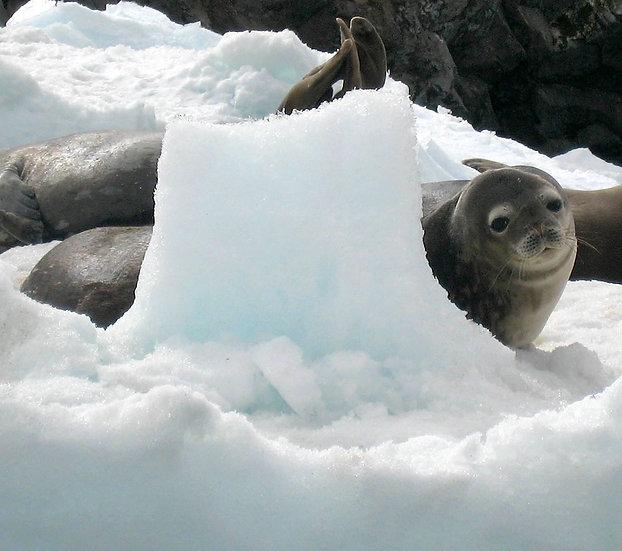 Weddell Seal Antarctica, 2009, Photography