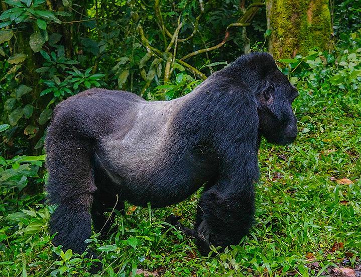 Silverback Mountain Gorilla Uganda