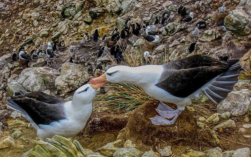 Black Browed Albatroses