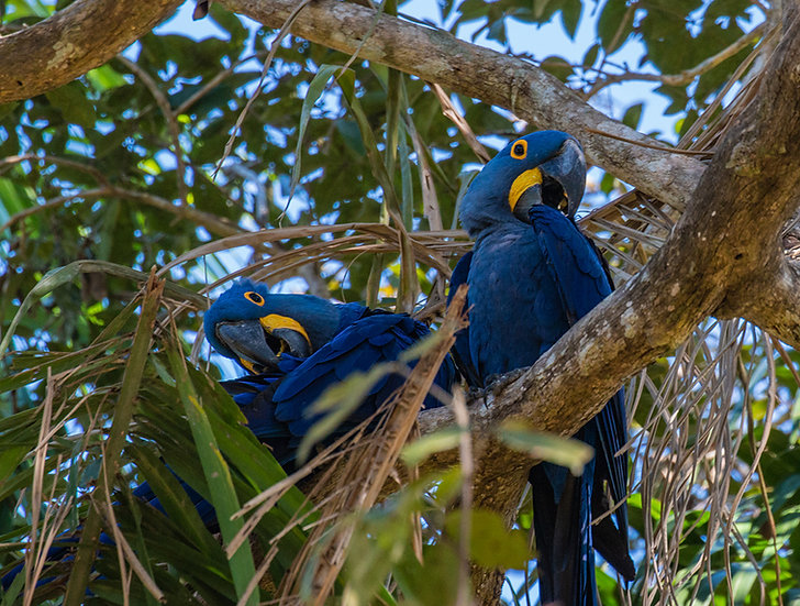 Hyacinth Macaws, 2018, Photography