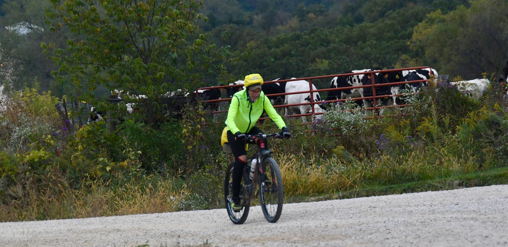 biker and cows.jpg