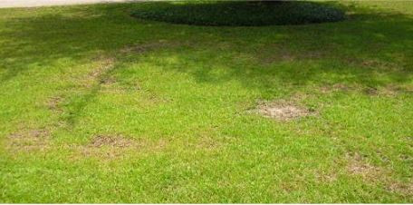 brown spot on grass