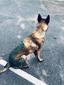 chiens sportifs ALT