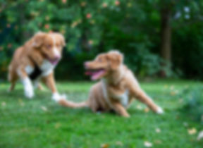 Two dogs playing outdoors. Puppy and old