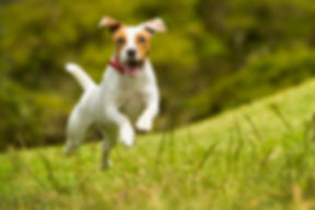 Jack Russel Parson Dog Run Toward The Ca