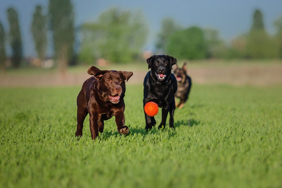 Two Labrador Retriever Dogs Playing With