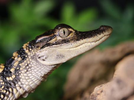 Lockdown Bites At Crocodile Zoo