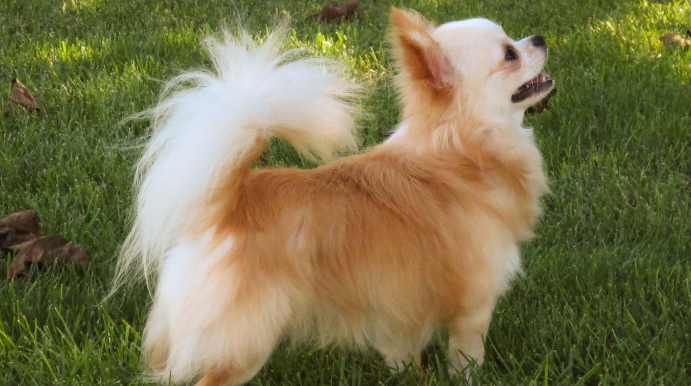 Chihuahua | Faerie Garden Longcoat Chihuahuas | United States