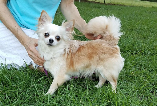Available Faerie Garden Longcoat Chihuahuas