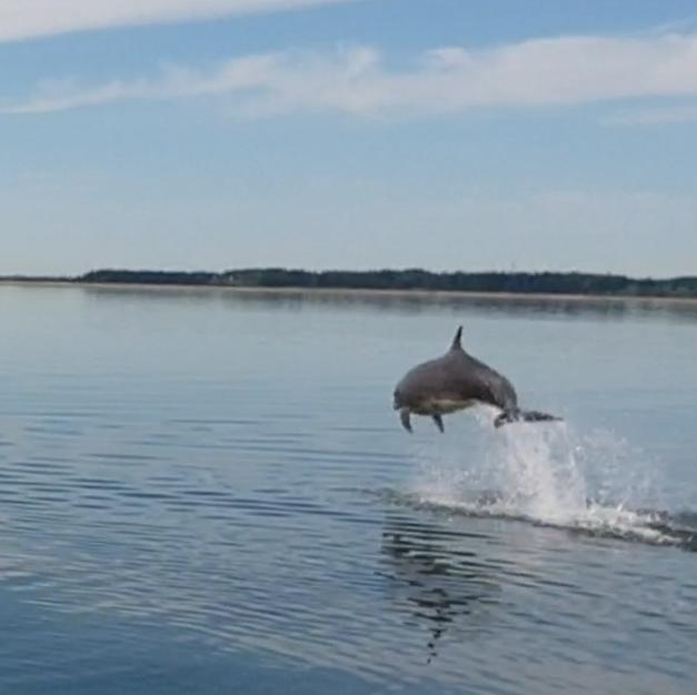 Jumping dolphin near Venø