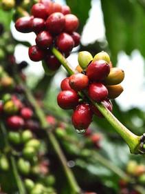 Robusta coffee from Ta Lai!.jpg