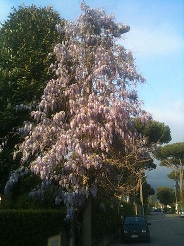 fiore glicine cemento armonia di luoghi alessandro arnaldo pardini feng shui