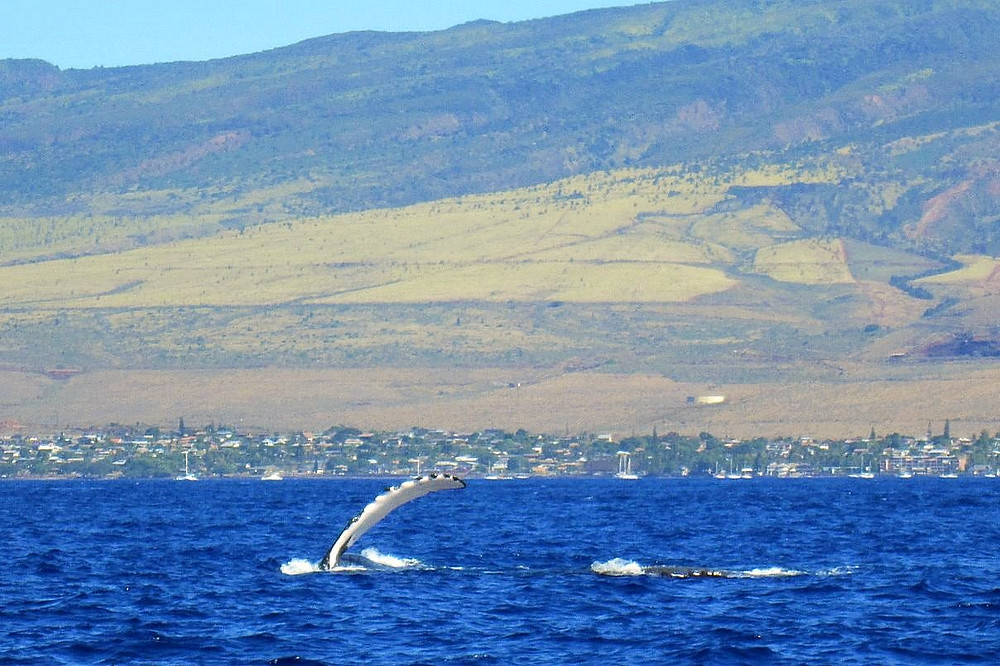 Whales playin with the West Maui shield volcano landscape in the background