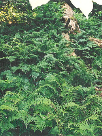 Silvery-Glade-Fern-in-Crows-Nest-Natural-Area-Preserve.jpeg