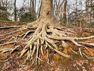 tree%20roots_edited.jpg