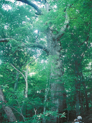 Chink-Oak-at-Crows-Nest-Natural-Area-Preserve.jpeg