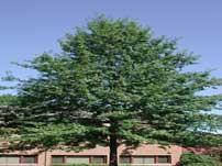 pin-oak.jpeg