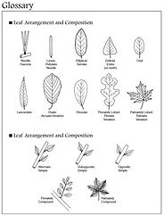 Leaf arrangement & comparison