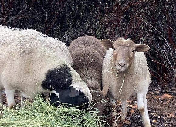 3 Months - Sponsor a Sheep