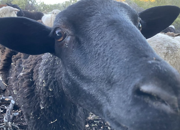 1 Month - Sponsor a Sheep