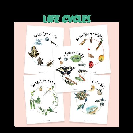 Life Cycles.png