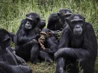 Congress: Take a Lesson from Chimps