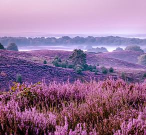 Bezoek aan de Posbank Veluwezoom Nederland met schitterende paarse heuvels,bloeiende paarse heide