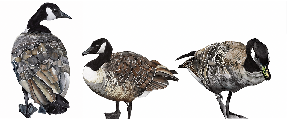 3 geese together.png