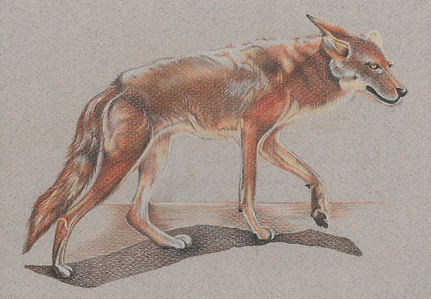 Coyote strolling.jpeg