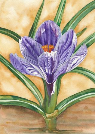 Narcisus Bulb