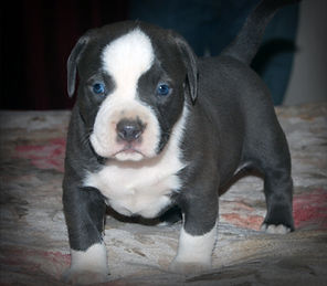 pitbull puppies, Alphabluepits